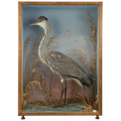 Vintage Taxidermy, Cased Heron with Naturalistic Background