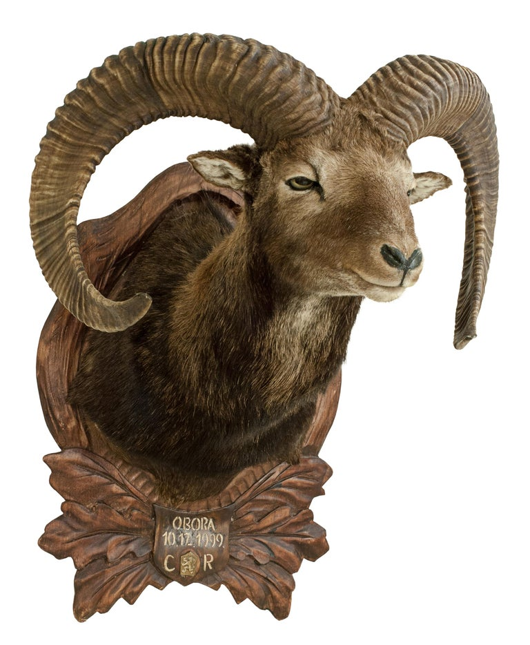 Mounted European Mouflon ram taxidermy shoulder mount. The Mouflon is mounted onto a wooden shield carved with oak leaves, acorns and a central plaque painted with the inscription 'OBORA, 10.12.1999, CR'. The inscription has been painted over an
