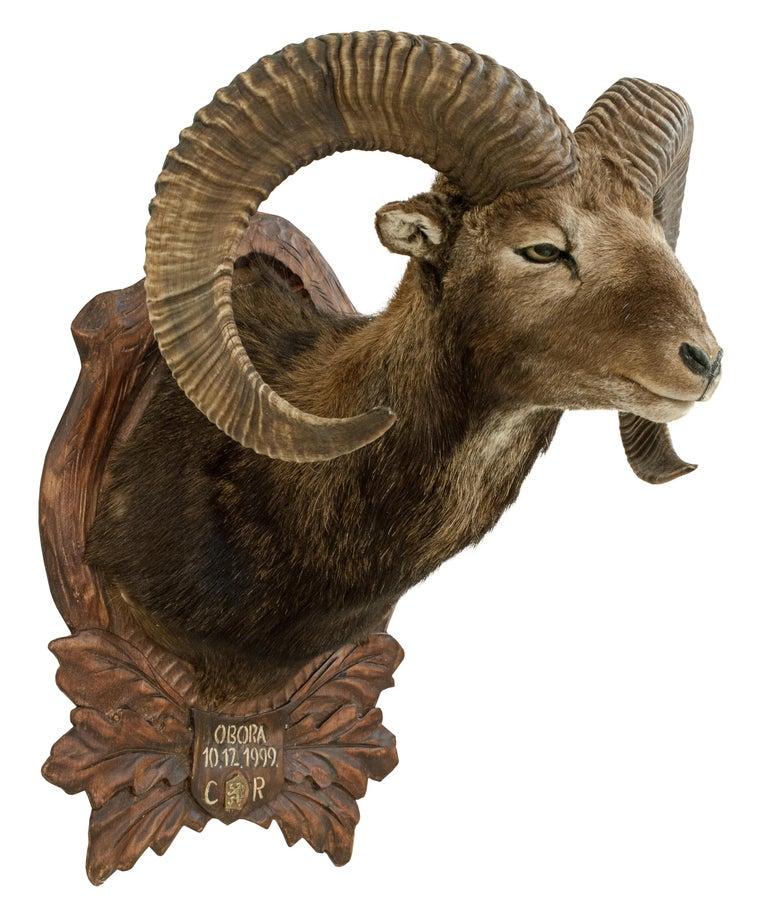 European Vintage Taxidermy Mouflon Shoulder Mount on Carved Shield, Mountain Goat For Sale