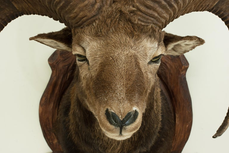 Late 20th Century Vintage Taxidermy Mouflon Shoulder Mount on Carved Shield, Mountain Goat For Sale