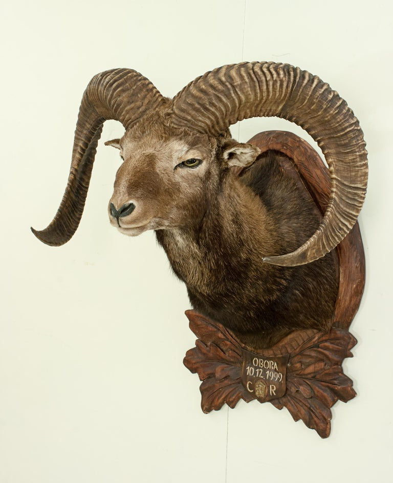 Vintage Taxidermy Mouflon Shoulder Mount on Carved Shield, Mountain Goat For Sale 1