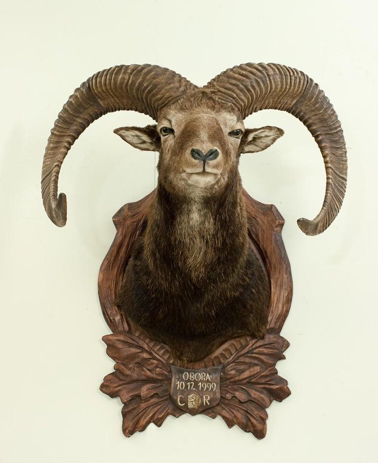 Vintage Taxidermy Mouflon Shoulder Mount on Carved Shield, Mountain Goat For Sale 2