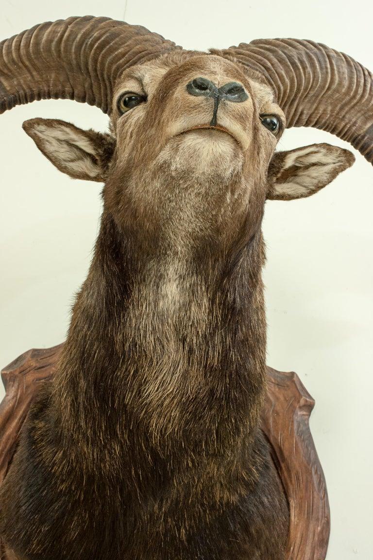 Vintage Taxidermy Mouflon Shoulder Mount on Carved Shield, Mountain Goat For Sale 3