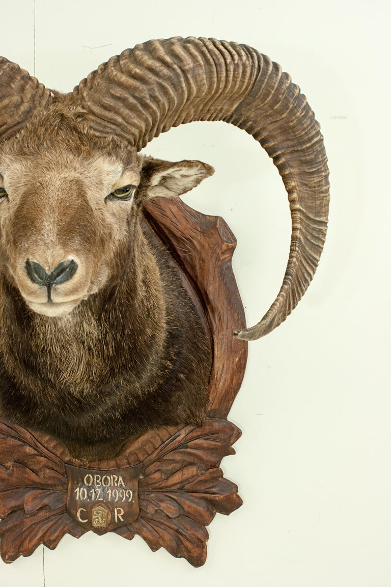 Vintage Taxidermy Mouflon Shoulder Mount on Carved Shield, Mountain Goat For Sale 4
