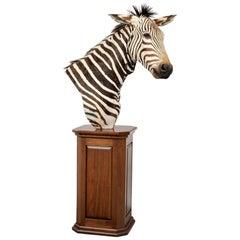 Vintage Taxidermy Zebra Figure on Custom Pedestal