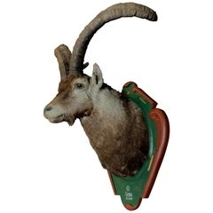 Vintage Trophy Head of a Spanish Ibex