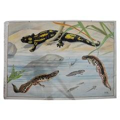 Vintage Wall Chart Print Salamander Newt Amphibians Tadpoles Underwater