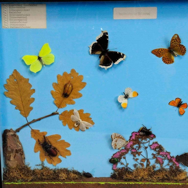 A vintage school teaching showcase with specimen illustrating the insects of the forest edge. Used as teaching material in German schools, circa 1960. paper lables with german inscriptions.  Measures: Width 19.69