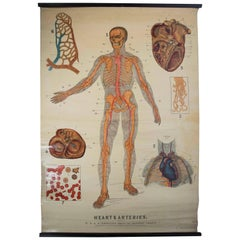 W&A J Johnstons Series of Anatomy, Cartography of Heart and Artery System