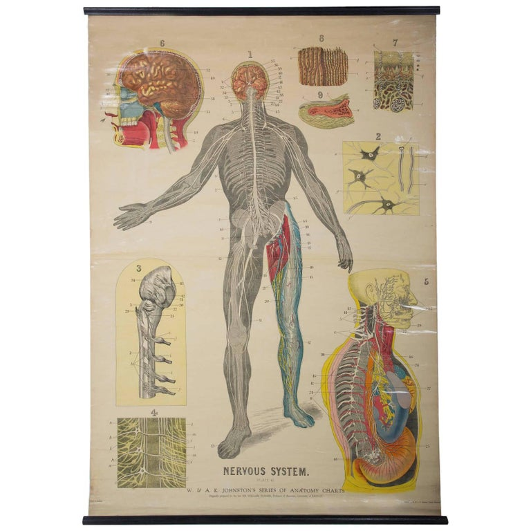 Wa J Johnstons Series Of Anatomy Nervous System For Sale At 1stdibs
