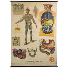 W&A J Johnstons Series of Anatomy, Organs