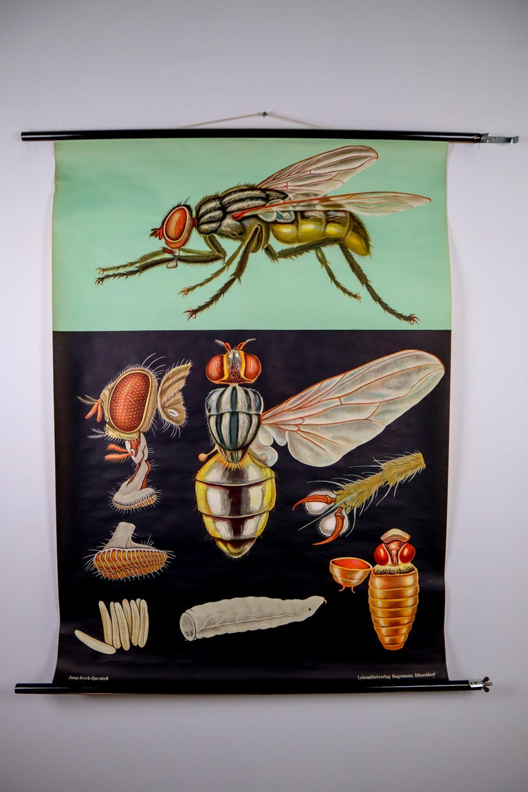 Wall chart of the Ohrenqualie by Jung Koch Quentell  - Canvas backed - On it's original hangers - German, 1964 - Measures: 37 x 45 inch   Jung Koch Quentell  The name Jung Koch Quentell came to be as they were the last names of the three