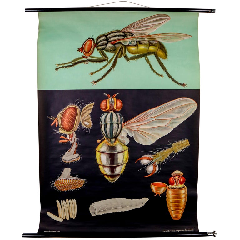 "Wall-School Chart ""Fliege"" from Jung-Koch-Quentell, 1964 For Sale"