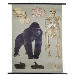 """Wall-School Chart """"Gorilla"""" from Jung-Koch-Quentell, 1961"""