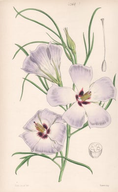 Fugosia Hakeaefolia, antique botanical Australian native flower lithograph print