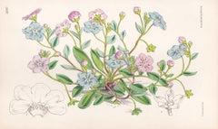 Omphalodes Lucillae, antique botanical flower lithograph print