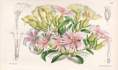 Silene Hookeri, native of California, antique botanical flower lithograph print