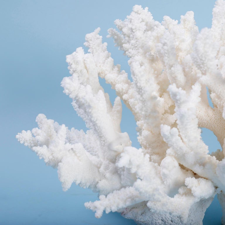 Stand out branch coral sculpture designed and crafted by F. S. Henemader with authentic regulated coral featuring sea inspired texture, organic forms, and brilliant bleached white color.   Coral being exported outside of the USA, requires special