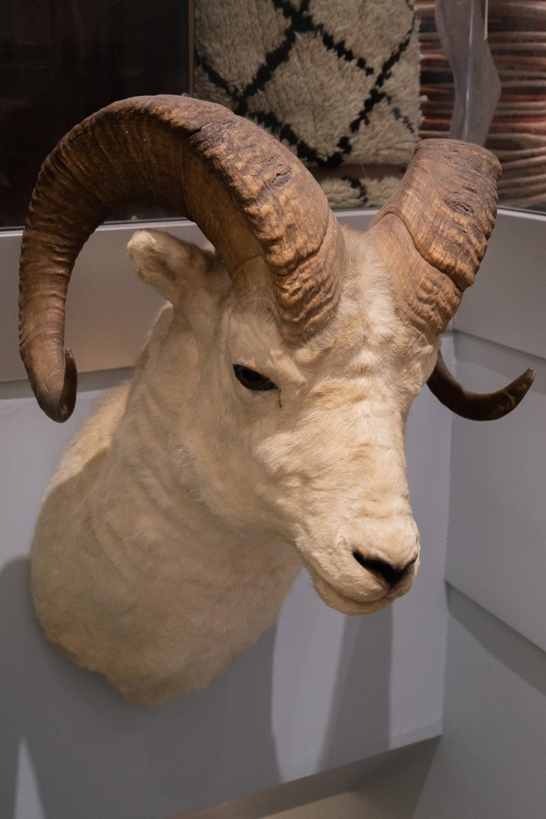 Taxidermy white horned sheep mount, from Jonas Brothers master taxidermists in Denver Colorado, dated March 12 1929.