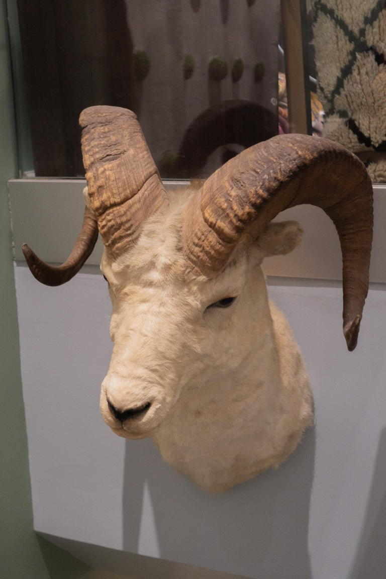 Victorian White Horned Sheep Mount Taxidermy, Denver, 1929 For Sale