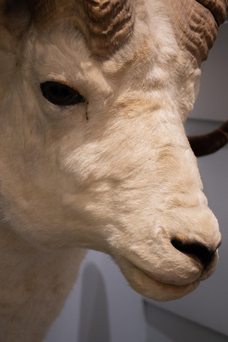 White Horned Sheep Mount Taxidermy, Denver, 1929 In Fair Condition For Sale In New York, NY