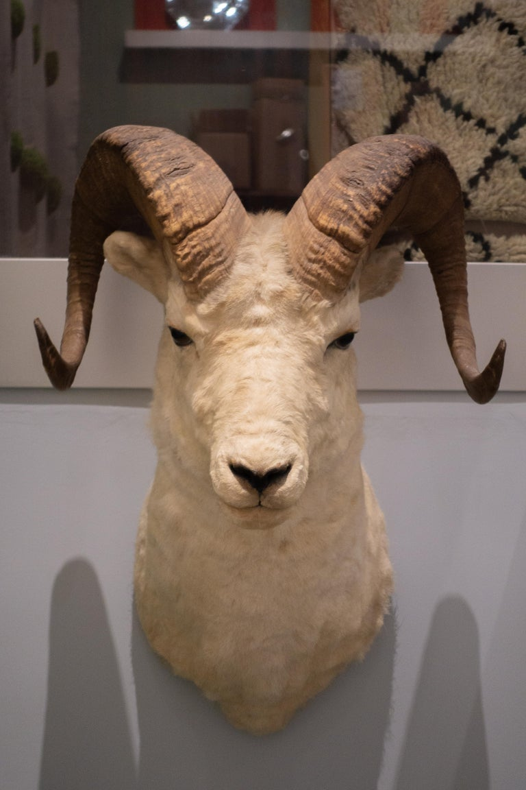 Early 20th Century White Horned Sheep Mount Taxidermy, Denver, 1929 For Sale
