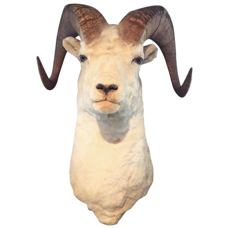 White Horned Sheep Mount Taxidermy, Denver, 1929 For Sale