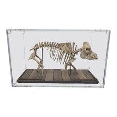 Wild Boar Mounted Skeleton Sculpture in Acrylic Display Box