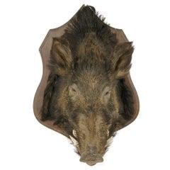 Wild Boar's Head