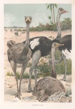 Lithograph Animal Prints