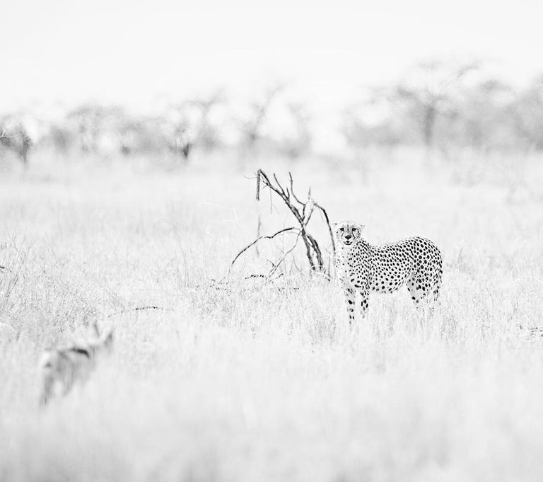 William Chua Black and White Photograph - Cheetahs n.1  - Watching / I am looking at You   (20 x 24 in. - unframed)