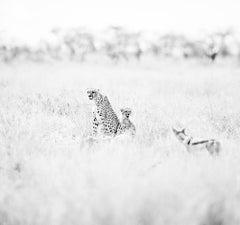 Cheetahs n.2 (Kenya) - Together - 20 x 24 in. - unframed