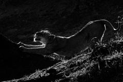 Wildlife - Lion - Stretch 18 x 24 in.