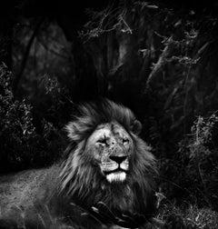 "Wildlife - ""Lion"" award winning photo 24 x 23 in. Fuji Flex premium"