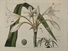 a 19th Century Hand-colored Engraving of a Flowering Crinum Plant by Curtis