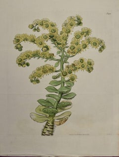 A 19th Century Hand-colored Engraving of a Flowering Houseleek Plant by Curtis
