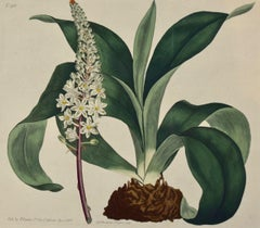 A 19th Century Hand-colored Engraving of a Flowering Sea Onion by William Curtis