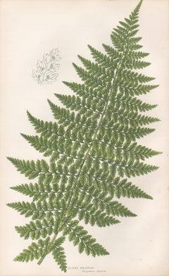 Ferns - Alpine Polypody, antique fern botanical plant colour woodblock print