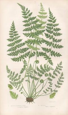 Ferns - Brittle Bladder Fern, antique fern botanical woodblock print