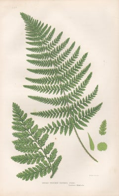 Ferns - Broad Prickly Toothed Fern, antique fern botanical woodblock print