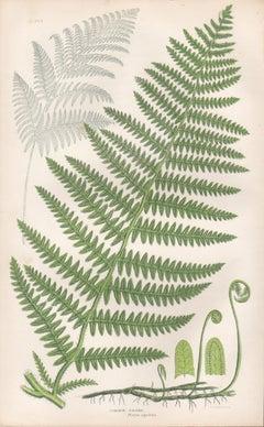 Ferns - Common Brake, antique fern botanical plant colour woodblock print