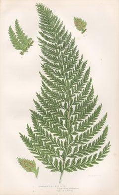 Ferns - Common Prickly Fern, antique fern botanical woodblock print