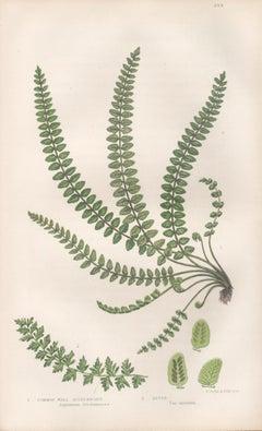 Ferns - Common Wall Spleenwort, antique fern botanical woodblock print