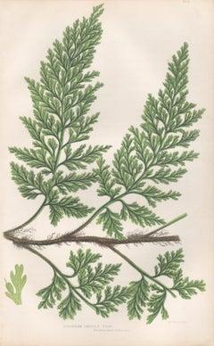 Ferns - European Bristle Fern, antique botanical plant colour woodblock print