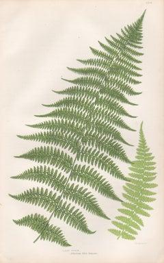 Ferns - Lady Fern, antique fern botanical plant colour woodblock print