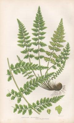 Ferns - Lanceolate Spleenwort, antique fern botanical colour woodblock print