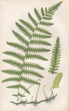 Ferns - Lustrea Thelypterus, antique fern botanical plant colour woodblock print