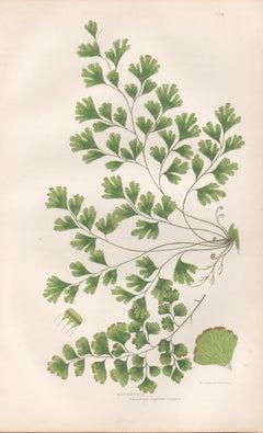 Ferns - Maidenhair, antique fern botanical plant colour woodblock print