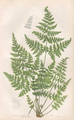 Ferns - Mountain Bladder Fern, antique fern botanical woodblock print