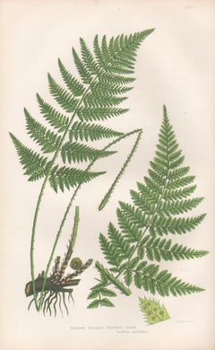 Ferns - Narrow Prickly Toothed Fern, antique fern botanical woodblock print
